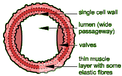 Image result for vein structure cross section