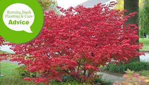 How To Plant Prune Fertilize Care For Burning Bush