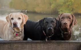 labrador retriever.  Retriever On Labrador Retriever E