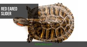The Complete Care Guide For Your Red Ear Slider Turtle For Free