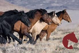 wild horses running. Delighful Horses Wild Horses Running On A Plain For Horses Running S