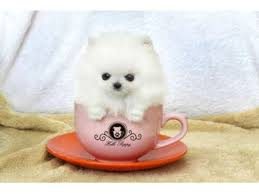 free teacup pomeranian puppies. Modren Teacup 12 Weeks Old Teacup Pomeranian Puppies For Adoption For Free Teacup Puppies
