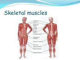 Bodyman lattissimus dorsi with tricep rotators with names. Identify Different Types Of Muscle Name The Main Muscles Understand The Way In Which Muscles Enable Movement To Occur Ppt Download