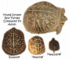Pin By Beverly Lamazzi On Box Turtles Tortoise Turtle