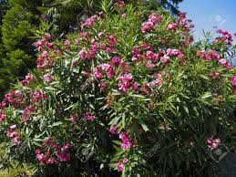 Escallonia Flowers  Yes To GardenShrub With Pink Flowers