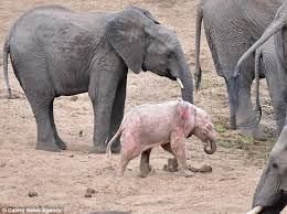 pink albino elephant.  Elephant Little Pinky The Calf Stands Out From The Rest Of Its Herd  But That To Pink Albino Elephant