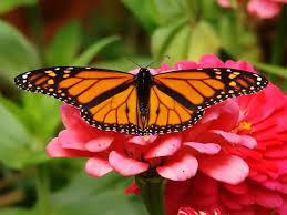 Do adult butterflies hibronate