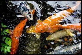 Koi Fish Live Wallpaper Free Download