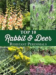 rabbit deer resistant perennials
