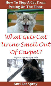 stop male cat from spraying how to neutralize urine odor spray smell house carpet cleaner