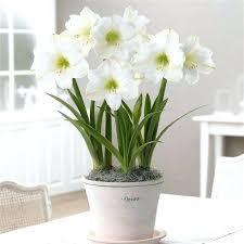 jumbo amaryllis bulbs gift pure white blossoms with apple green throats put on jumbo amaryllis bulbs
