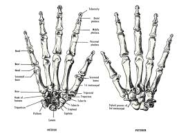 Small Picture Human hand bones Anatomy references for artists Anatomy