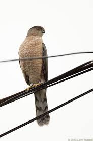 What Is A Hawk Light Union Bay Watch A Hawk In The City