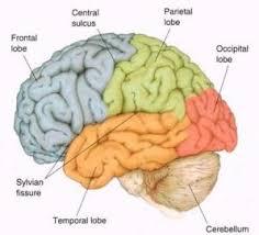 Brain Chart Brain Chart Anatomy And Function At La Jolla High School
