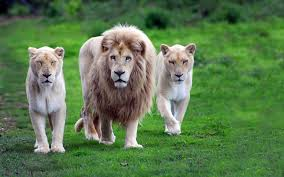 1423 Lion HD Wallpapers