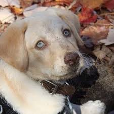 yellow lab with blue eyes. Delighful Eyes Yellow Lab With Blue Eyes On Lab With Blue Eyes