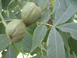 Pecan Tree  Tree School Identification Guide  Preservation Tree Green Fruit Tree Identification