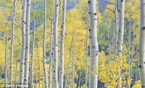 Hay fever playing up? Blame the birch trees and steer clear of ...