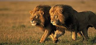 the truth about lions science smithsonian two male lions in ldquo
