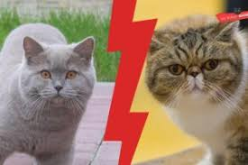 British Shorthair Weight Chart Kg British Shorthair Weight By Age Full Guide