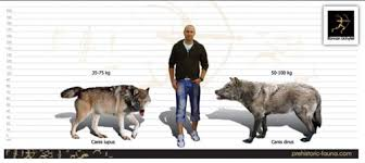 grey wolf size size comparison of the grey wolf left and dire wolf right