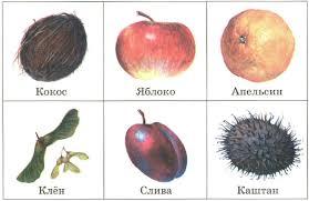 Растения хвойные и цветковые Строение размножение Плоды  Плоды цветковых растений кокос яблоко апельсин клён слива каштан