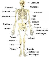 important functions of the skeletal system of human body