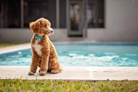 poodles of ta