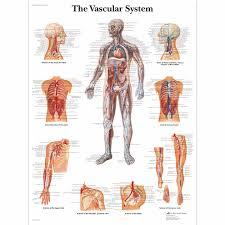 Anatomical Chart Posters The Vascular System Chart