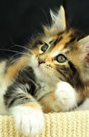 fluffy baby calico kittens. Modren Calico Calico Kittens Are Too Cute Inside Fluffy Baby