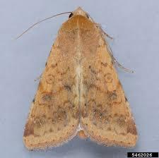EPP-7089 Caterpillars in Canola » OSU Fact Sheets