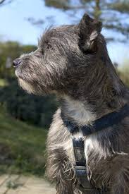 Cairn Terrier Growth Chart How To Feed Cairn Terriers Pets