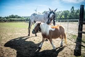Blind Paard En Geleidepony Vinden Op Het Nippertje Nieuwe Thuis