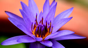 Lotus Flower Color Chart The Meanings Of The Different Colors Of The Lotus Flower In