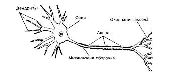 Реферат Анатомия центральной нервной системы com  Анатомия центральной нервной системы