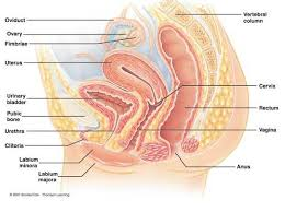Female Reproductive System Chart Female Reproductive System Diagram Labeled Healthiack