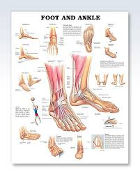 Foot And Ankle Chart 20x26 Foot Anatomy Ankle Anatomy