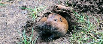how to keep groundhogs out of my garden. Groundhogs Burrow How To Keep Out Of My Garden