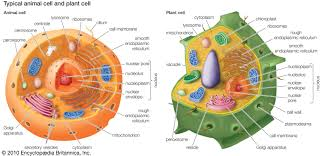 Organelles In Plant And Animal Cells Venn Diagram Peroxisome Biology Britannica