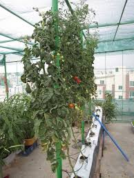 Guide To Growing Tomatoes In Containers And Outdoors Blog
