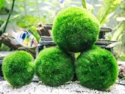 Decorating With Moss Balls Marimo Moss Ball Care Guide Everything you need to know 72