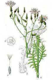 Lactuca perennis Perennial Lettuce PFAF Plant Database