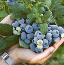 Blueberry Varieties Comparison Chart Varieties