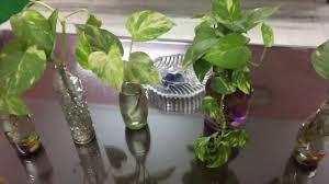 grow money plant in glass bottles diy interior decor