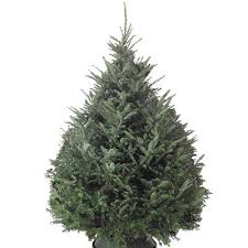 Pick Your Perfect Christmas Tree  Forestry Commission ScotlandTypes Of Fir Christmas Trees