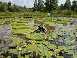 explore d c s gem at the annual lotus and water lily festival