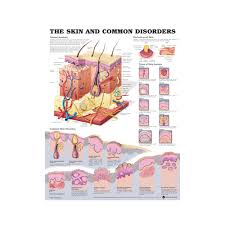 Anatomical Chart The Skin And Common Disorders