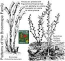 Images & Illustrations of broomrape family
