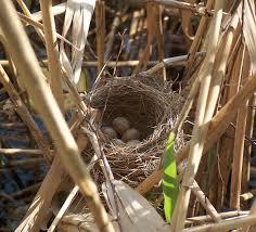 Birds Nest Bed Bird Nest Wikipedia