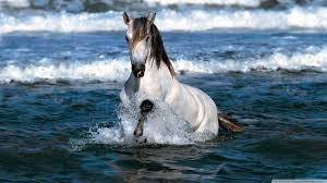 white horse running in water hd desktop wallpaper high